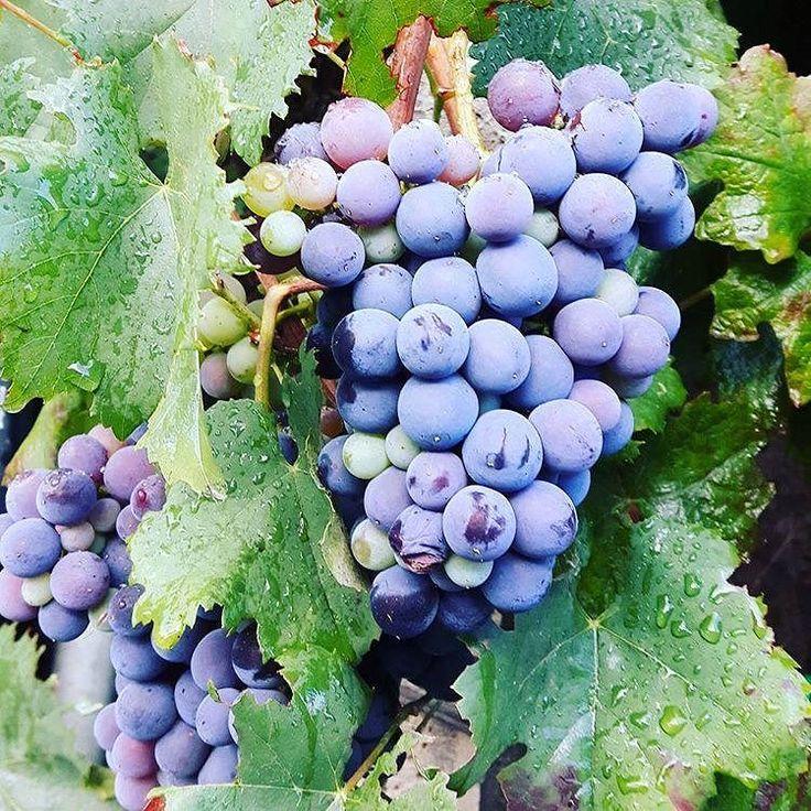 Reposted from @aurinkomatkat  #vino #wine #etna #winelover #instasicily #igsicilia #vineyard #sicily #winery #vigneto #winerytour #gambinovini #winetasting #winetourism #vinery #cellar #grapewines #whatsicilyis #igcatania #igsicilia #igsicilia #winemakers #ilovewine #wineoclock #grapevines  Syksy on sadonkorjuun aikaa Sisiliassakin ja viinin korjuun aika on juuri nyt. Etnan ainutlaatuisia viinejä maistellaan retkellämme Gambinon perhetilalle joka tuottaa viinejä suurella sydämellä aktiivisen…