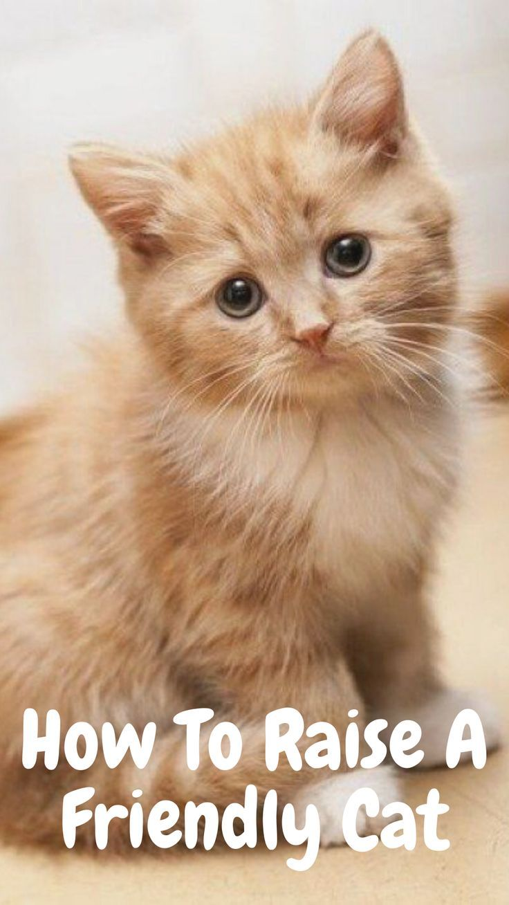 How To Raise A Friendly Cat In 2020 Cats Kittens Cutest Siberian Kittens