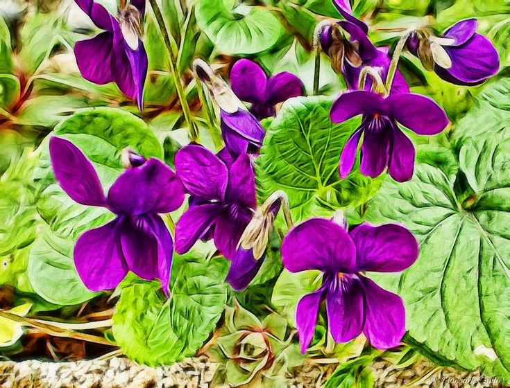 Wild violets by Giancarlo Gallo