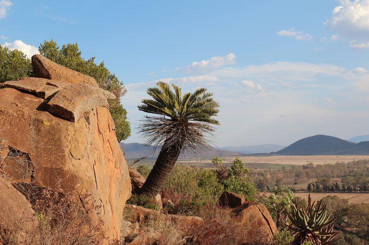 Encephalartos friderici-guilielmi | von walksimos