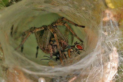 Spider Tegenaria  k.a. hobo spider Thorpness 10.7.09 (4)