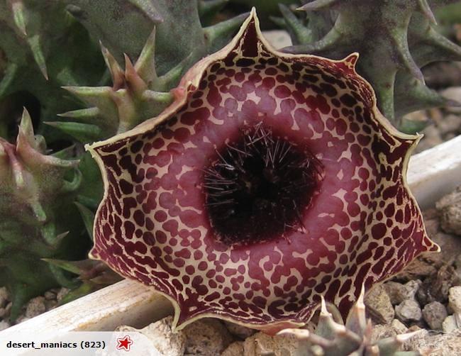 Huernia reticulata                                                                                                                                                                                 More