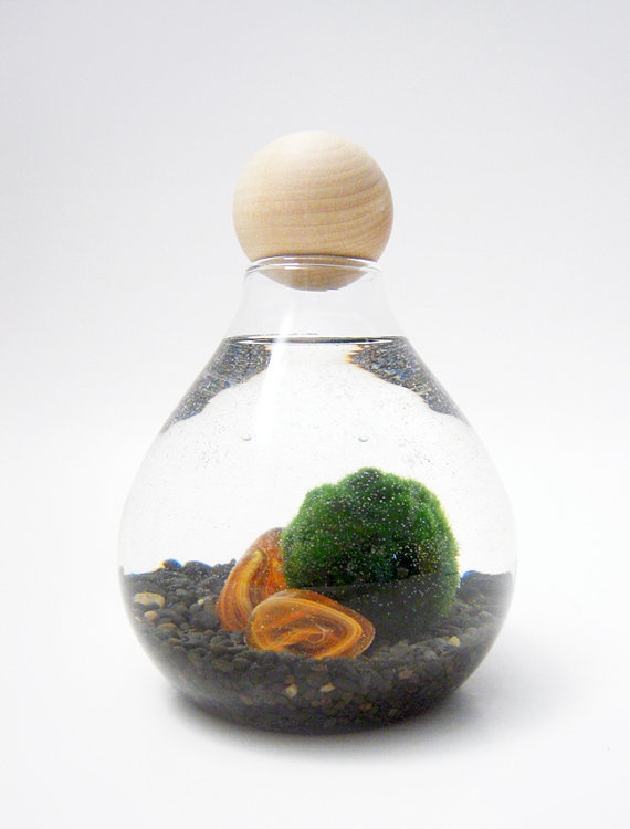 1000 images about fish bowls on pinterest pet for Marimo moss ball