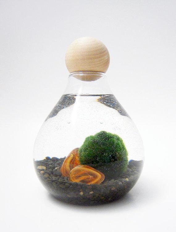 Marimo wendiland garden pinterest for Betta fish moss ball