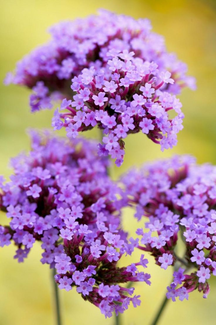 74 Best Verbena Images On Pinterest Verbena Purple