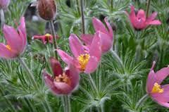 Image result for Pulsatilla vulgaris Gewöhnliche Kuhschelle  rosa