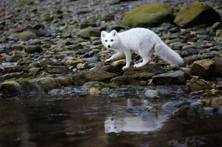 Learn all you wanted to know about arctic foxes with pictures, videos, photos, facts, and news from National Geographic.