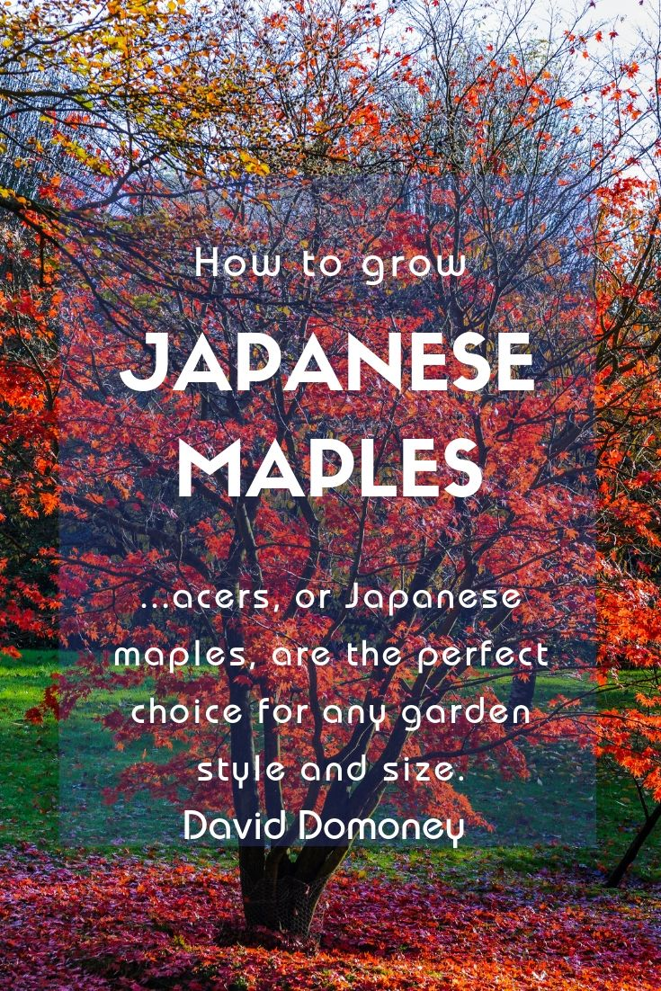 How To Grow Acers Or Japanese Maples April Plant Of The Month Japanese Maple Tree Japanese Maple Coral Bark Japanese Maple