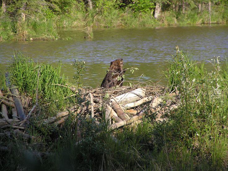 beaver dam - Google Search