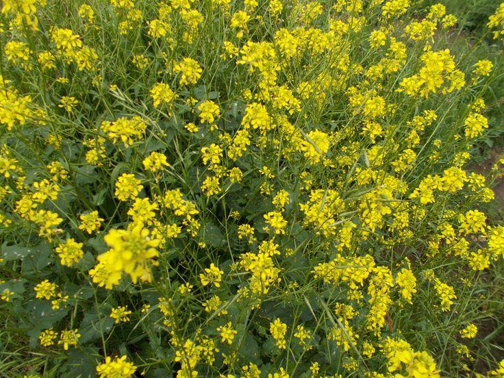 Brassica flowers.