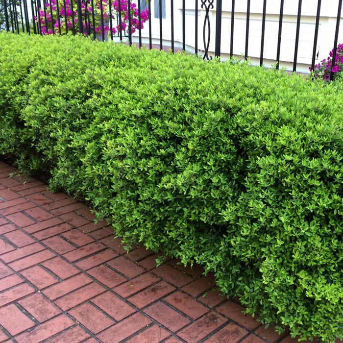 die besten 25 dwarf shrubs full sun ideen auf pinterest hohe str ucher immergr ne str ucher. Black Bedroom Furniture Sets. Home Design Ideas