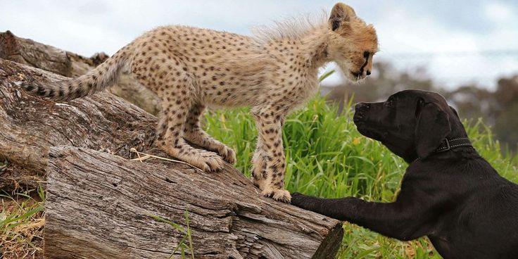 Le guépard et le chiot, les nouveaux inséparables