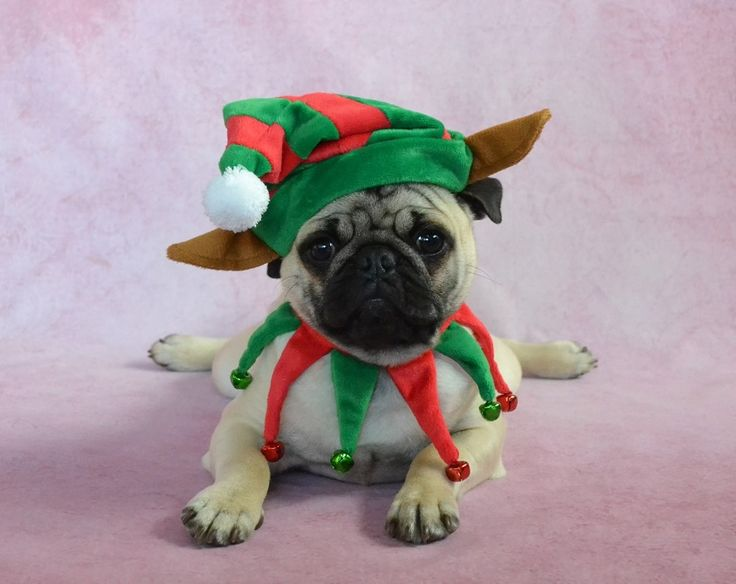 Pug Elf Pancake - puppy in a Christmas costume