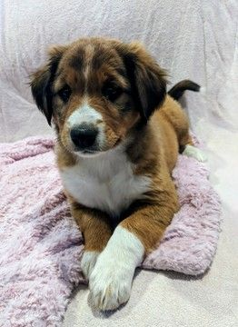 Litter Of 8 English Shepherd Puppies For Sale In Clinton Mt Adn