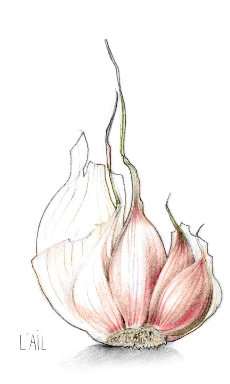 illustration ail garlic Florence Gendre