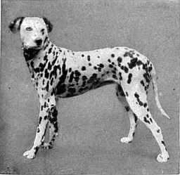 58 best vintage dalmatian images on pinterest vintage dog the project gutenberg ebook of encyclopdia britannica volume viii slice vi dodwell to drama fandeluxe Ebook collections