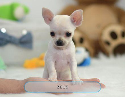 Min schnauzers puppys