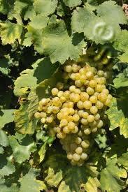 027 – Con la uva Prosecco se producen vinos ligeramente...  (A) – Tanícos  (B) – Amargos  (C) – Dulces