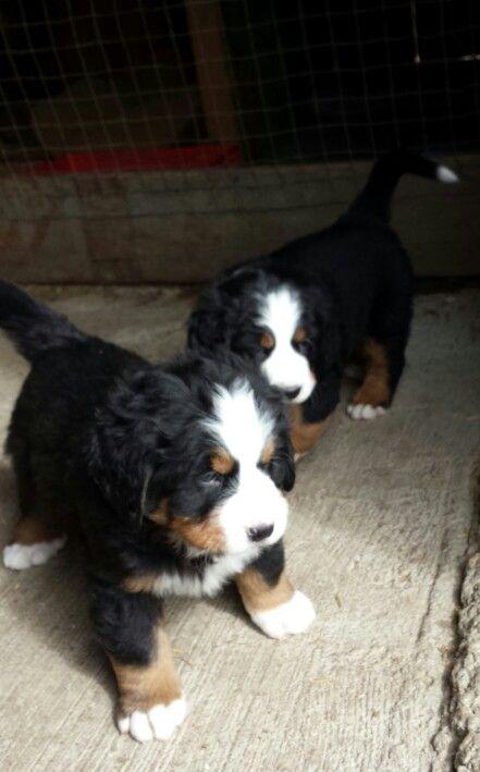 Bernese Mountain Dog puppies!