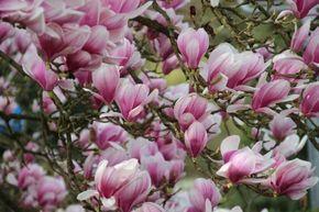 Magnolia – Instrucțiuni de îngrijire