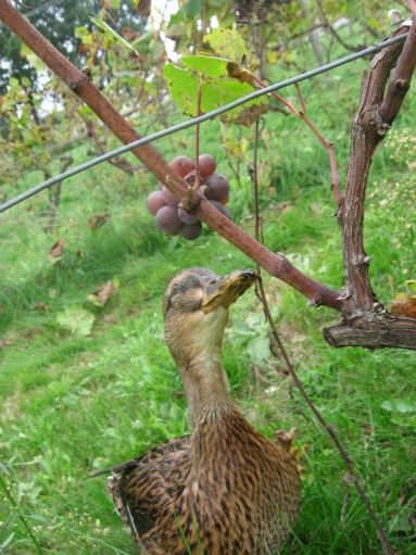 Maggie Duck eyeing up the harvest