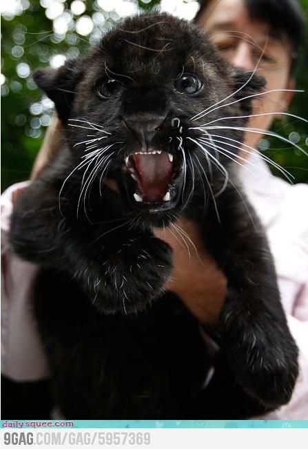Little Panther / oh my gosh it's so cute !!!!!!!