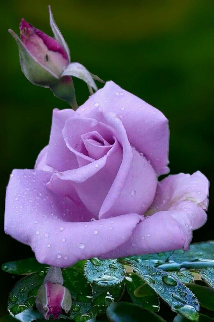 картинки с розами красивые живыми давним прошлым прощаться