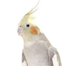 how to teach a cockatiel to talk
