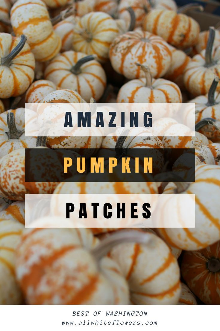 Marris Farms, Picha's Pumpkin Patch, Carpenito Brothers, Spooner Farms, Mosby Farms | The Best Pumpkin Patches in Washington State | All White Flowers | Travel & Lifestyle Blog