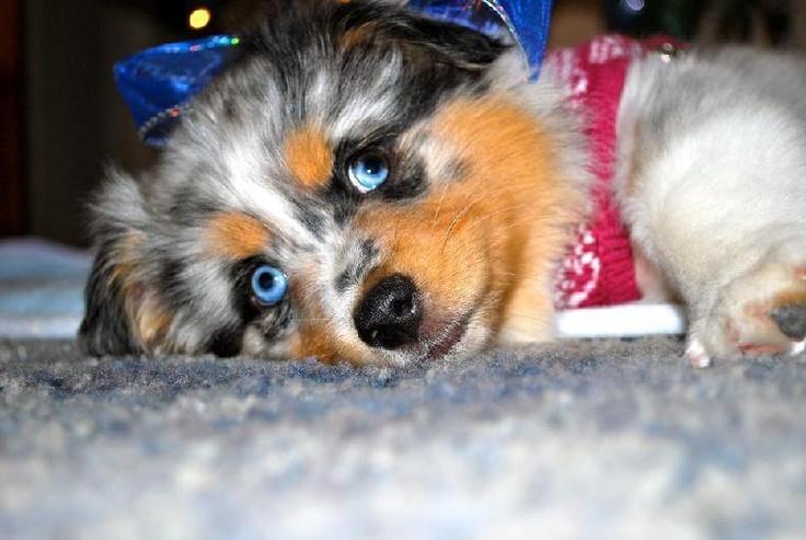 Mini Aussie Puppies For Sale!