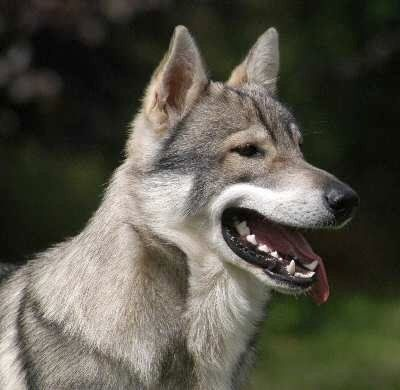 Tamaskan dog. Basically you get all the looks of a wolf, with the temperment of a German Shepherd :)