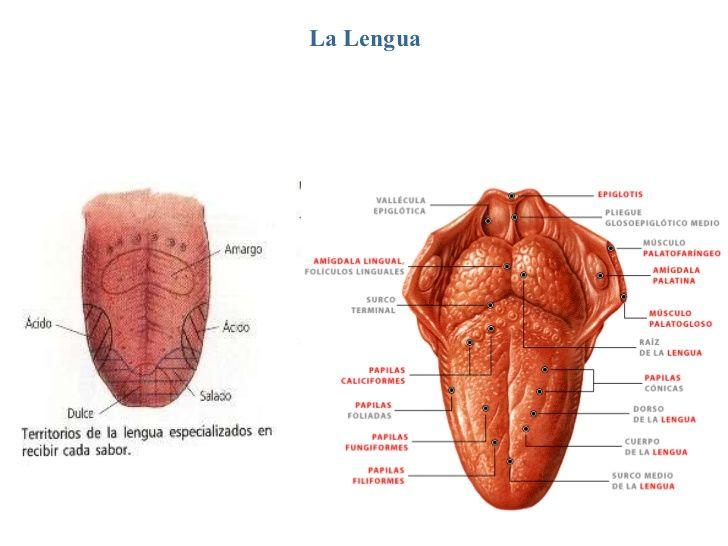 La Lengua La Lengua Es Un Rgano Muscular Que Participa En