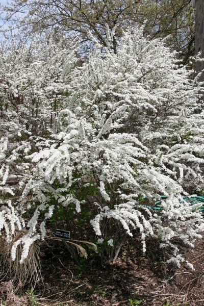 Growing Spirea Shrubs: Information On How To Care For Spirea Bushes