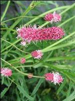 SANGUISORBA tenuifolia  Pink Elephant