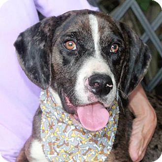 Garfield Heights, OH - Australian Shepherd/Beagle Mix. Meet Ford a Dog for Adoption.