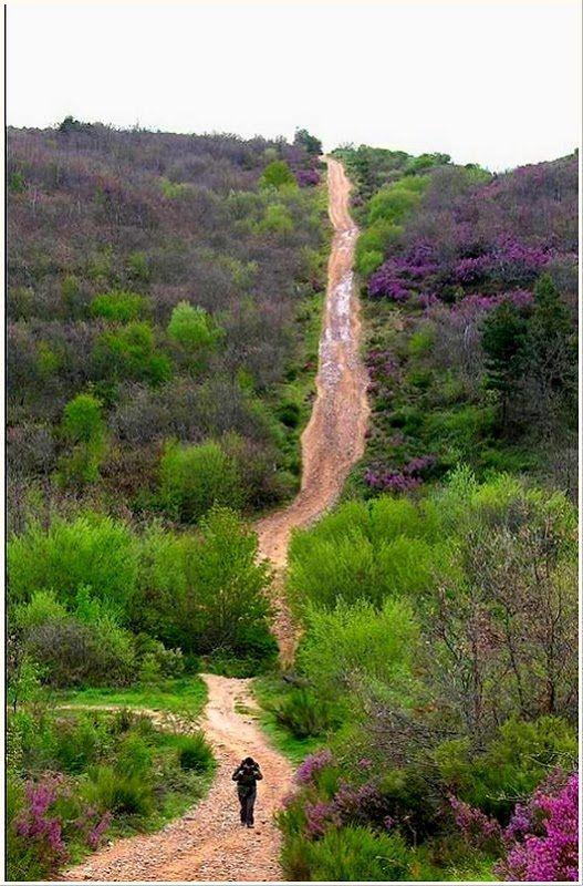 Brezo en flor - Villafranca Montes de Oca  Camino de Santiago  Spain