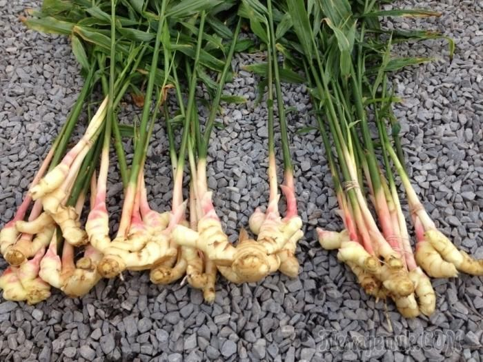 Корень имбиря – это ароматная пряность, которая обладает лекарственными свойствами и используется в кулинарии и медицине. Само же растение иногда применяется в качестве декоративной культуры, которая ...