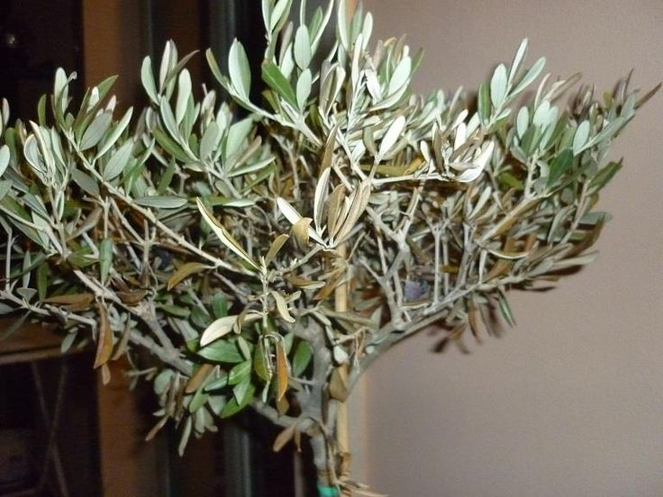 1000 images about potted olive trees on pinterest for Growing olive tree indoors