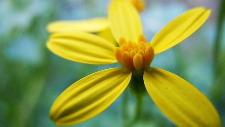 Wild Cineraria (Cineraria saxifraga)