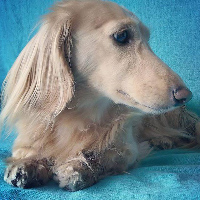 久々におうちシャンプー💕 ALOHAはパピーの頃からシャワーかけられても全く嫌がらず、置物みたいに大人しくしてくれてるのでシャンプーはホント楽〰❤ ドライヤーで乾かすのが大変だけど、これまたドライヤーも全く嫌がらずじっと私の足元でお座りしてくれてるから私もストレスたまらない〰🎵🎵 #dachshund #dachshundlove #minidachshund #minituredachshund #dachshundsoftheday #dachstagram #ig_dogphoto #ig_dachshund #ig_dog #doğum #dog #age6 #ダックスフント #ダックスフントクリーム #ダックスフンド #ダックス好き #ダックス #ダックスlove #だっくす #だっくす部 #短足部 #短足部ダックス #だっくすたぐらむ #ロングヘアー #いぬ部 #6歳 #愛犬