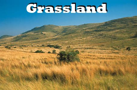 Grassland = a biome where grasses, not trees, are the main plant life. Prairies are one kind of grassland region.