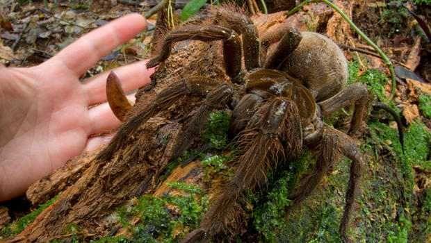 Nova especie de Aranha gigante que pode chegar ao tamanho de um filhote de cachorro é descoberta em floresta úmida - Sempre Questione