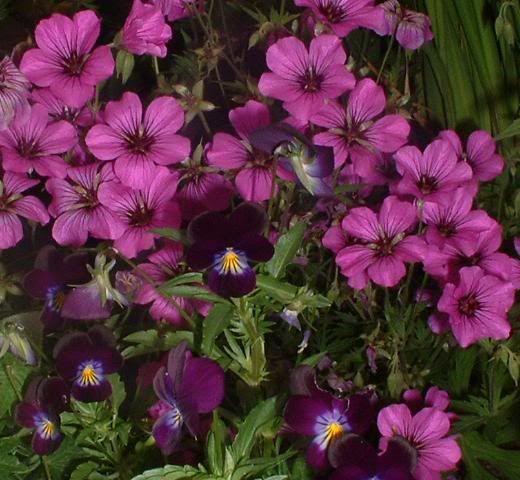 any experience with geranium patricia? - Geranium Forum - GardenWeb