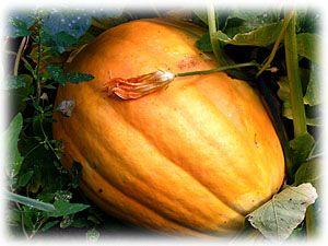 Good tips for pumpkin growing.