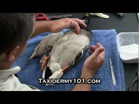 24 best taxidermy ideas and diy images on pinterest taxidermy how to taxidermy bird taxidermy taxidermy videos youtube solutioingenieria Choice Image