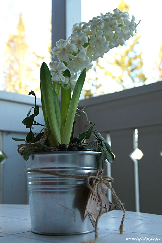 A beautiful white hyacinth on our porch table #finland #flowers #decor