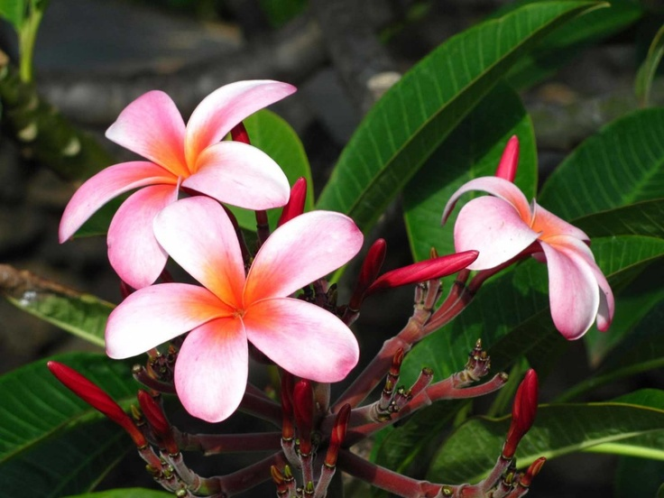 best hawaii flowers hawaii images on, Beautiful flower