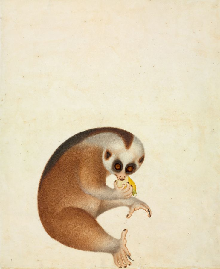 Not sure what's going on here, but I LIKE IT.Lori Kukang, Bengal Slow, History Illustration, Reeves Collection, Lori John, John Reeves, Slow Loris, Animal, Nature History Museums