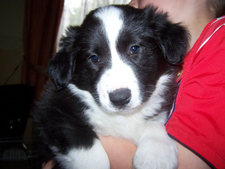collie puppies | Border Collie Puppy Pictures Photos Pics