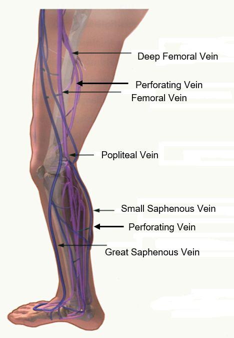 Diagram of major veins of the leg The venous circulation